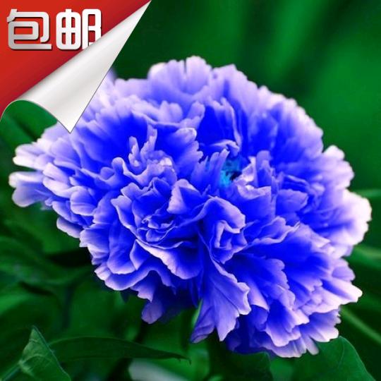 牡丹花的品种名称