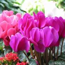 Free Shipping 5pcs /bag flower seeds cyclamen seeds balcony