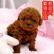 Puppy poodle puppy dog Tactic pocket living purebred dog sale teacup dogs small dog mini