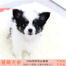 Sell purebred Mini Butterfly in vivo pet dog puppies grow small are come to buy vaccines