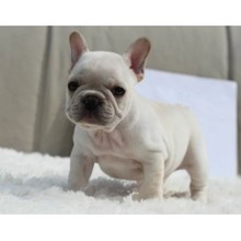 The sale of purebred cattle dog method cream small bucket living French Bulldog puppy dog
