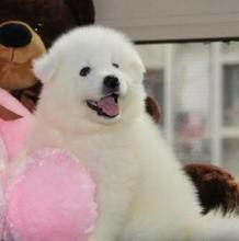 Purebred Samoyed puppy bear version Samoye Satsuma smiling angel medium dog pet dog in vivo