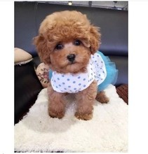 The sale of pure Tactic dog puppies teacup toy Mini Teddy dog small pet dog