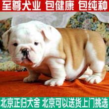 Purebred domesticated pet dog racing in the British Bulldog Bulldog Yingdou tiger dog puppies for sale