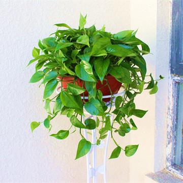 360型綠航綠蘿防甲醛吊蘭大盆栽綠蘿盆景室內大型植物帶盆栽好360