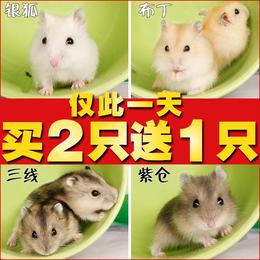 仅此一天小仓鼠活体宝宝三线银狐布丁紫仓买2只送1只 包邮送盒