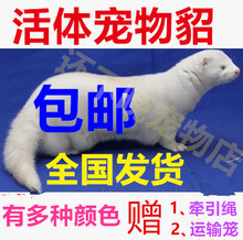 free shipping golden pheasant live pet python cross Anglo貂Pet Fox Domestic Flower Ferret