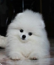 Small white teacup dogs pocket dog family pet Pomeranian purebred puppies Kuku Shunsuke with pure blood