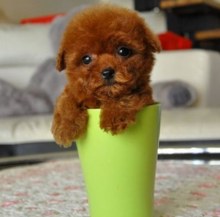 The cup Tactic dog / long live pet dog Tactic little puppy / dog Teddy bear purebred poodle