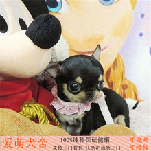 Mexico pure yellow white small teacup Chihuahua puppies pocket pet dog living selling health package