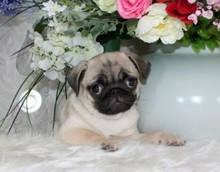 The sale of living purebred Pug kennel and small cute pug puppy dog 60 Pug