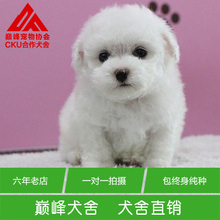 CKU pet dog kennel Bichon Mini Bichon frise puppy body sweet face