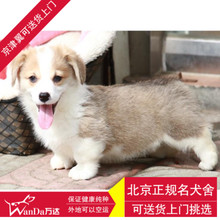 Beijing pet dog purebred puppies living Corgi legs double color pure living dog kennel breeding