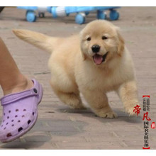Beijing kennel sale season golden retriever puppies pure medium retriever pet dogs in vivo