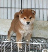 The sale of pure Japanese Shiba puppy dog puppy dog dog dog