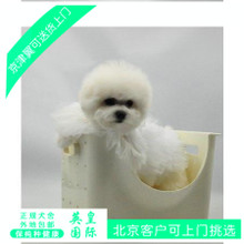 Beijing Cup tournament regular kennel sale pure grade white curly Bichon puppy dog in shipping