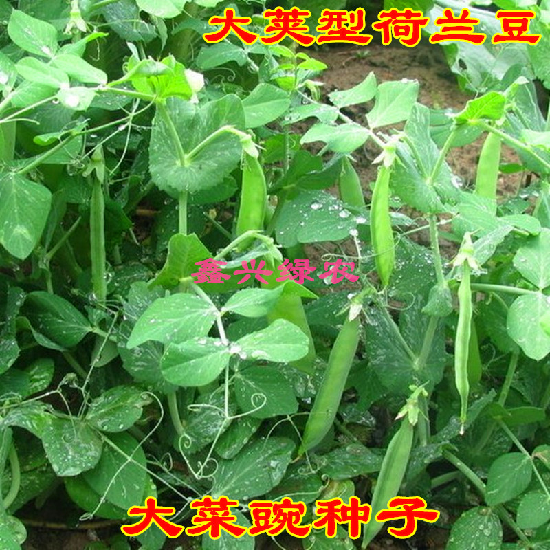 Dutch soybean seed big soft pea horn seeds eat pod beans high yield spring and autumn four season potted vegetables