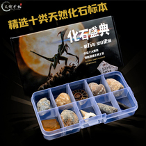 Natural paleontology fossil specimen box Insects Conch Trilobites Marine flora and fauna Ammonite science teaching spot