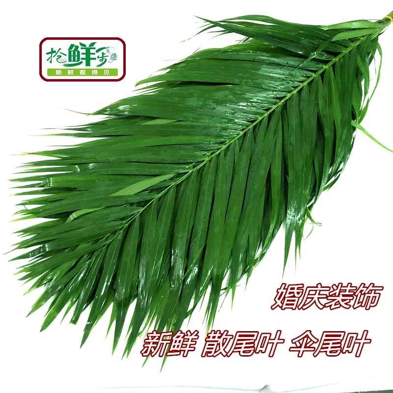 Fresh loose tail leaves Umbrella tail leaves 10 branches to the wedding celebration blessing decoration about 50cm long