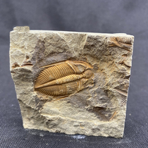 Fidelity complete boutique Trilobite paleontological fossils Childrens gifts Teaching science