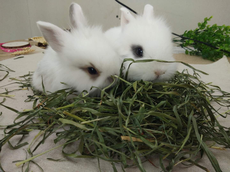 В 2020 году высушите нандинанти мяо Тимоти трава кролика дракона кошки основной травы высокого качества травы голландской свиной травы 500G